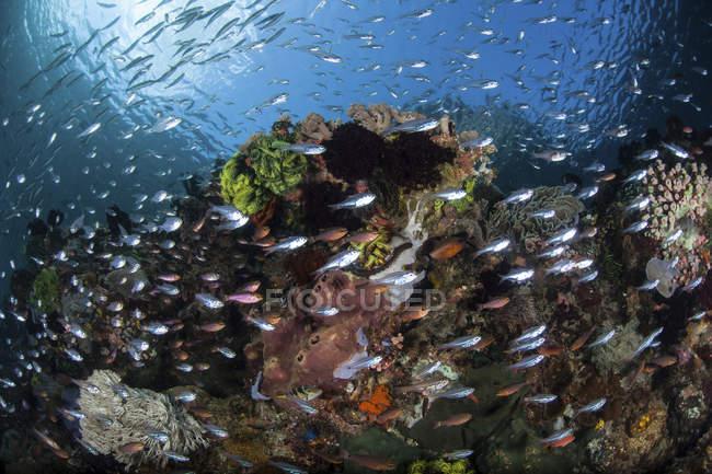 Fische schwimmen über farbenfrohem Korallenriff — Stockfoto