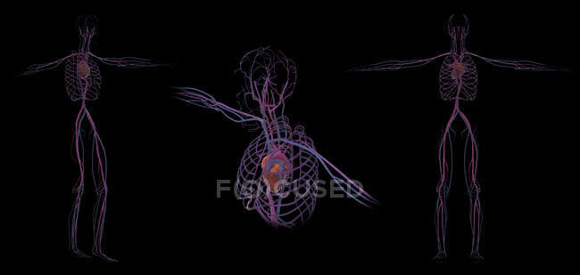 3D rendering of human circulatory system on black background — Stock Photo