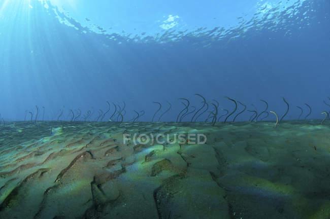 Wellenförmige Gartenaale auf dem Meeresboden — Stockfoto