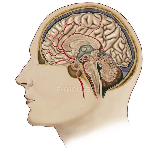 Sección transversal del cerebro con arterias - foto de stock