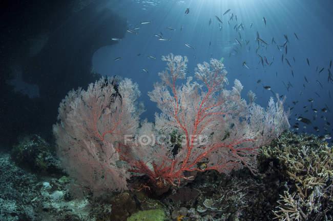 Grand gorgone poussant sur le récif — Photo de stock
