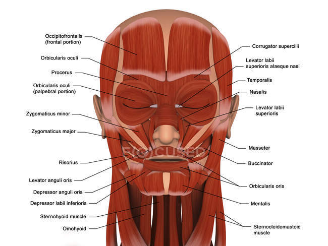 Músculos faciales de la cabeza humana con etiquetas - foto de stock