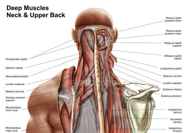 Human anatomy of deep muscles in the neck and upper back — Stock ...