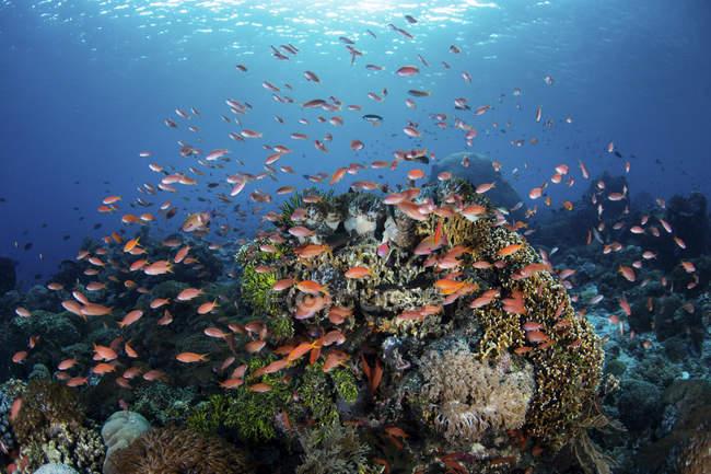Peixes de recifes coloridos nadando perto de Alor — Fotografia de Stock