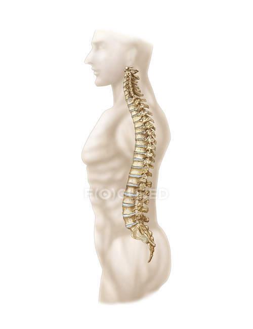 Anatomía de la columna vertebral humana - foto de stock