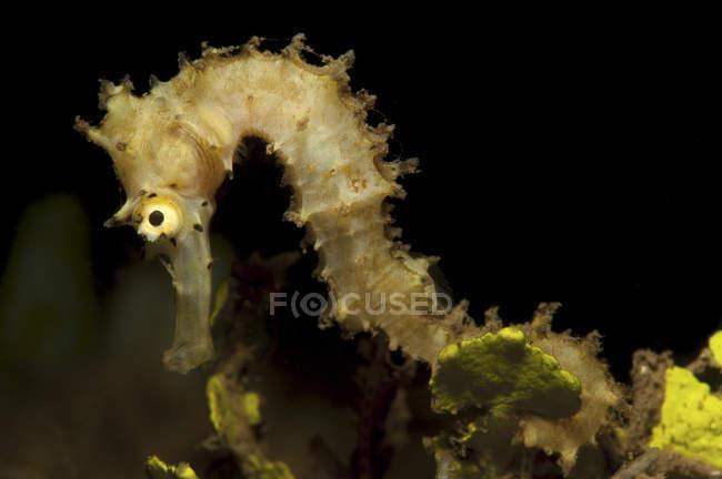 Hippocampus espinhoso closeup tiro — Fotografia de Stock