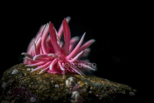 Hopkins rose dans l'eau sombre — Photo de stock