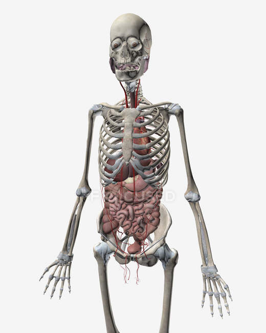 Human skeletal system with organs of the digestive system — Stock Photo