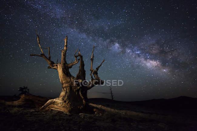 Milky Way and dead pine tree — Stock Photo