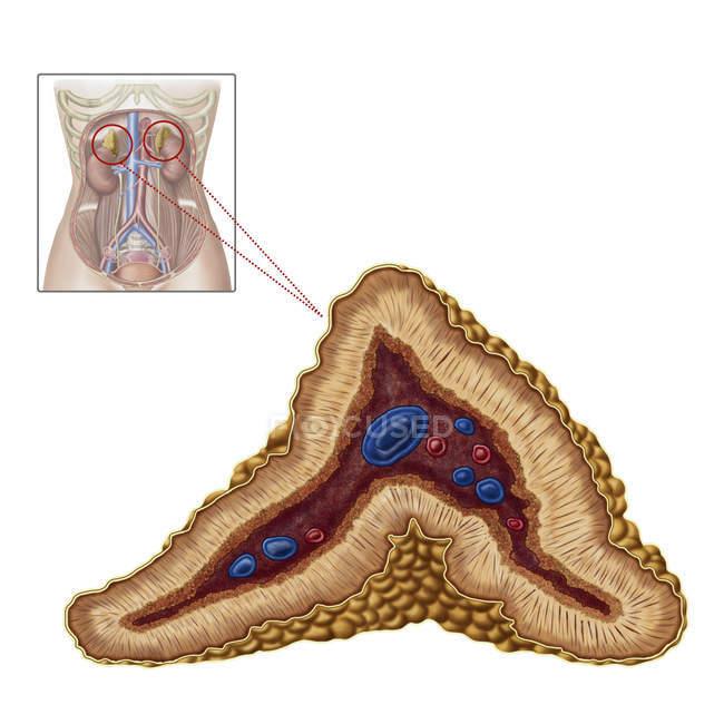 Anatomía de la glándula suprarrenal sobre fondo blanco - foto de stock