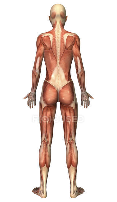 Visão traseira do sistema muscular feminino — Fotografia de Stock