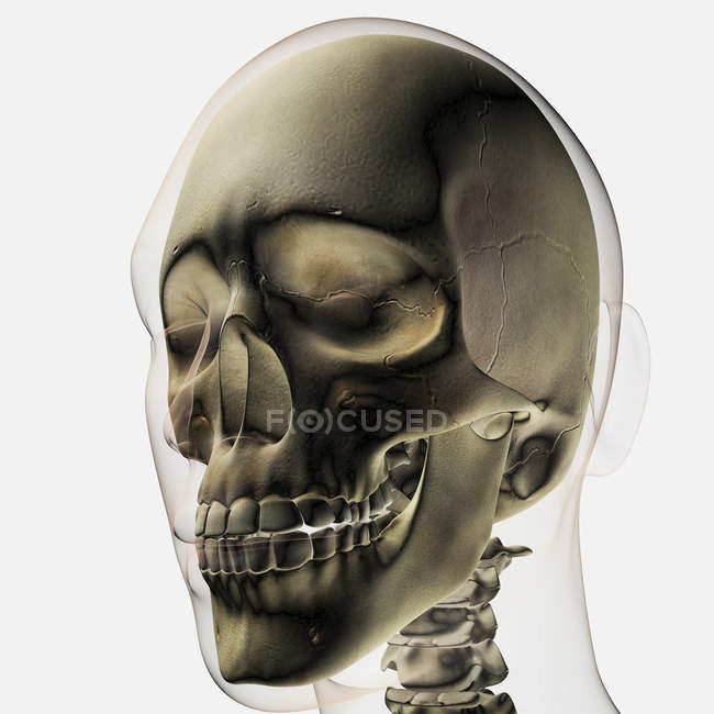 Three dimensional view of human skull and teeth — Stock Photo