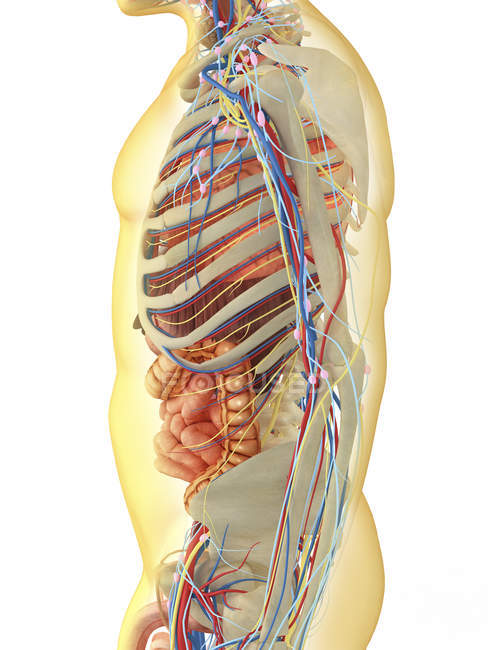 Transparent human body with internal organs, nervous, lymphatic and ...