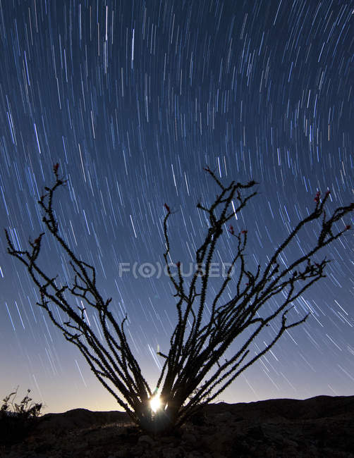 Definindo a lua atrás de ramos de ocotillo — Fotografia de Stock