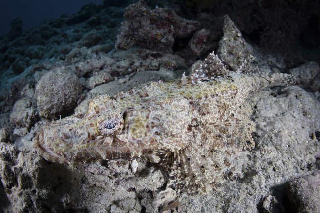Crocodilefish acostado en el fondo del mar - foto de stock