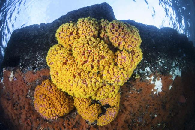 Colonia de corales de copa brillante en arrecife - foto de stock