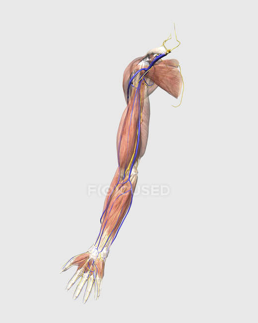 Medical Illustration Of Human Arm Muscles Veins And Nerves Stock
