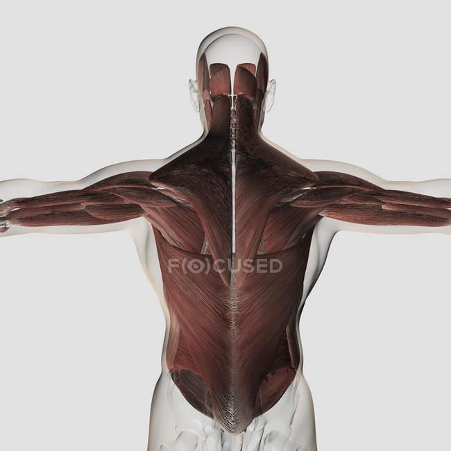 Anatomie musculaire masculine du dos humain — Photo de stock