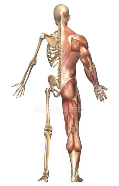 Ilustração médica do esqueleto humano e do sistema muscular — Fotografia de Stock