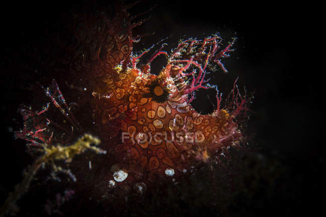 Rhinopias frondosa en agua oscura - foto de stock