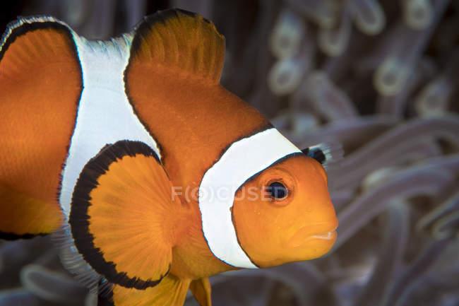 Pez payaso falso en Komodo - foto de stock