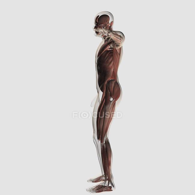 Anatomía del sistema muscular masculino sobre fondo blanco - foto de stock