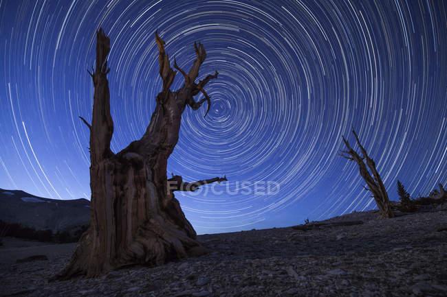 Ancient bristlecone pine trees — Stock Photo