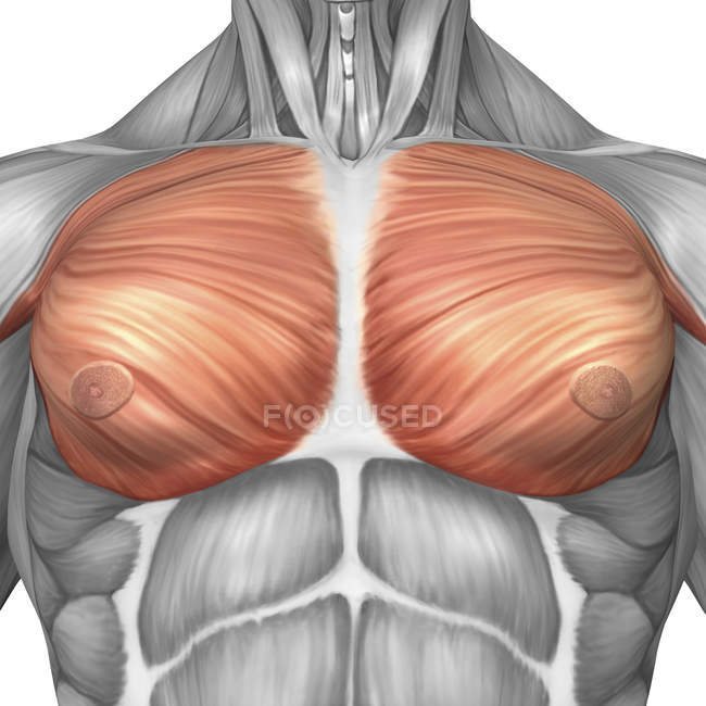 Anatomy of male pectoral muscles — Stock Photo | #174714180