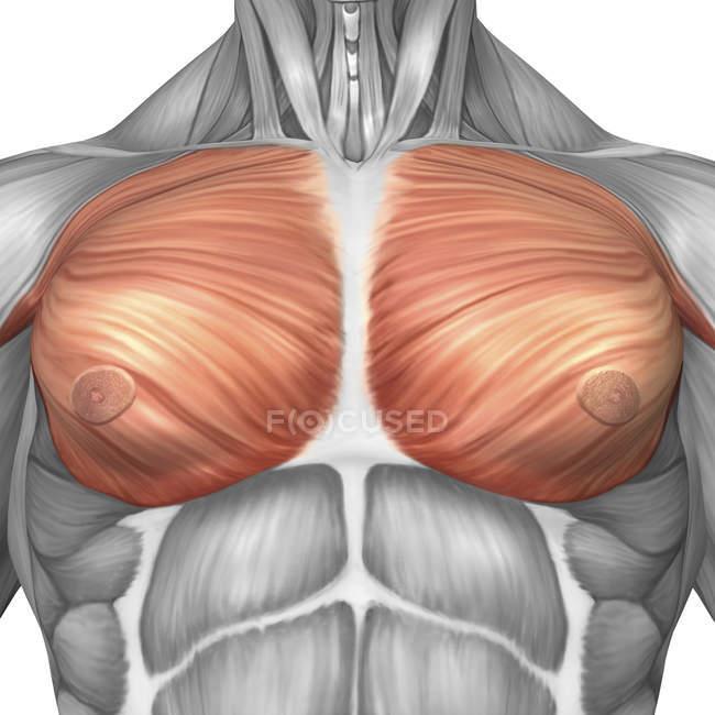Анатомия грудных мышц у мужчин — стоковое фото