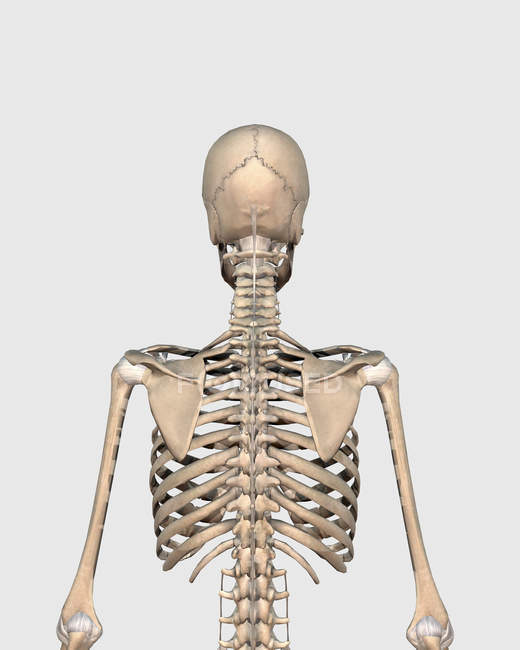 Medical Illustration Of Upper Back Human Skeletal System Stock