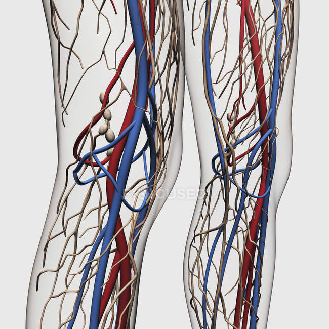 Medical illustration of arteries, veins and lymphatic system in human legs — Stock Photo