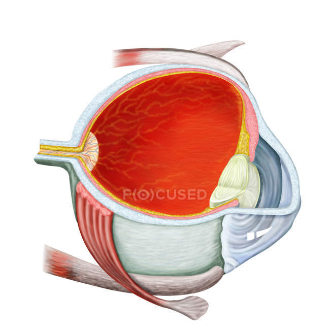 Cross section of human eye on white background — Stock Photo