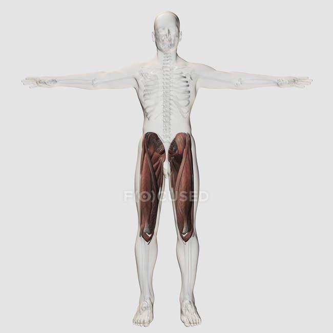 Anatomia muscular masculina das pernas humanas — Fotografia de Stock