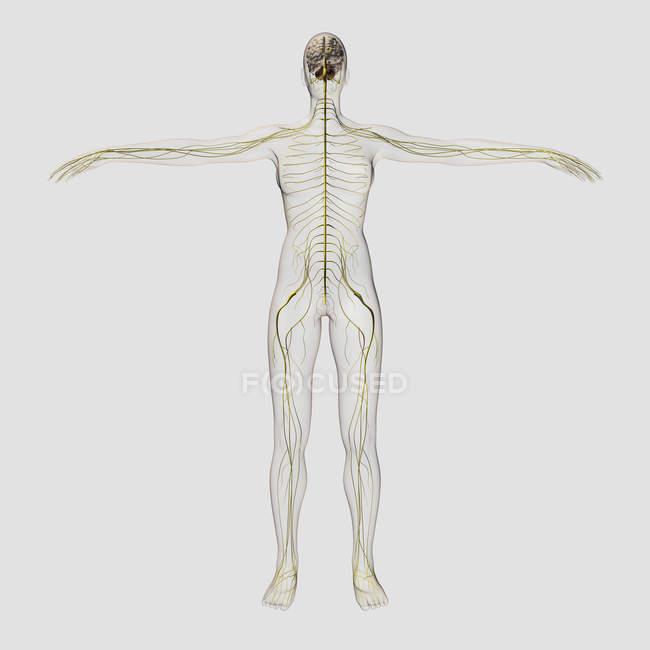 Medizinische Illustration des menschlichen Nervensystems und Gehirns — Stockfoto