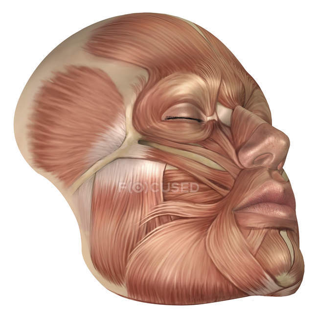 Anatomy Of Human Face Muscles Stock Photo 174714444