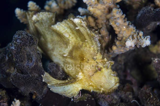 Scorpionfish à feuilles sur récif corallien — Photo de stock