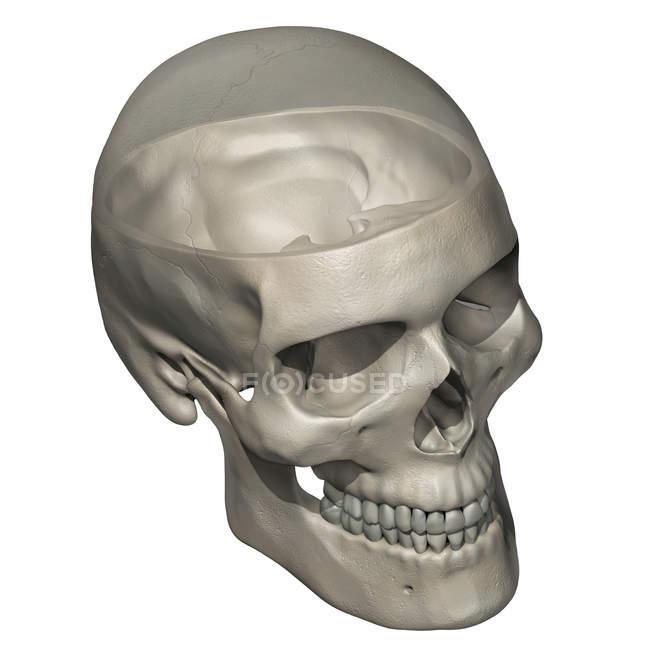 Anatomía del cráneo humano con calvario transparente - foto de stock