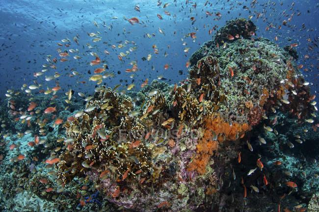 Anthias nadando sobre corales - foto de stock