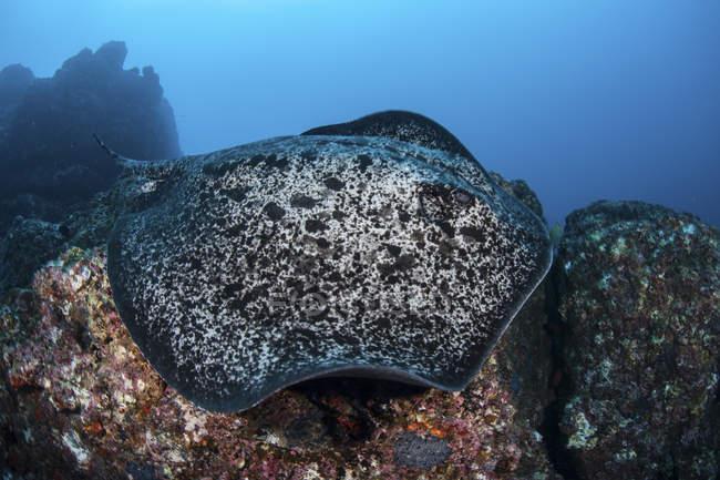 Grande arraia-mancha-preta nadando sobre rochas perto da ilha de Cocos, Costa Rica — Fotografia de Stock