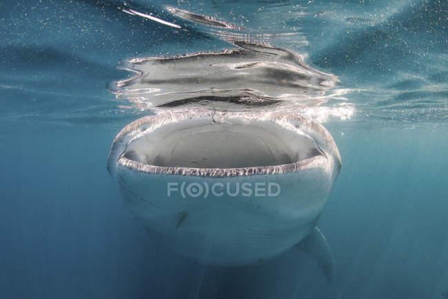Китова акула, годування на планктону — стокове фото
