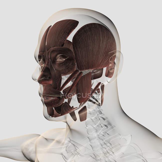 Anatomía de los músculos faciales masculinos sobre fondo blanco - foto de stock