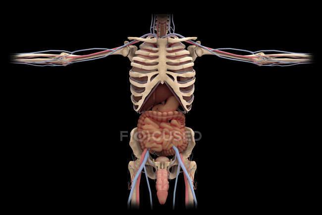 Rendering 3D del sistema riproduttivo maschile e digestivi — Foto stock