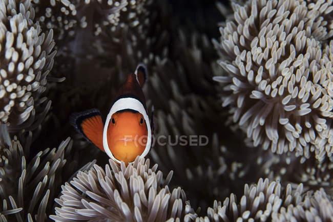 Pez payaso nadando entre tentáculos de anémona - foto de stock