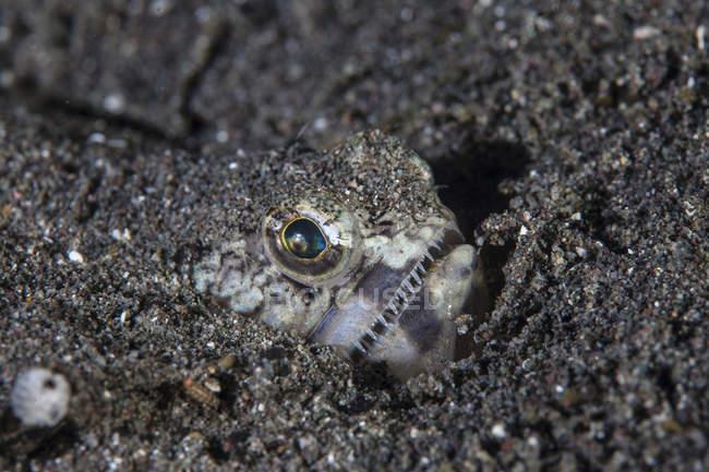 Lizardfish Прокладка піщаним дном — стокове фото