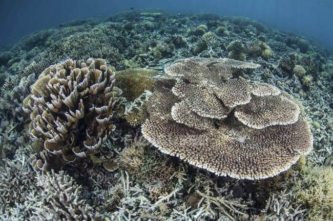 Delicados corais em recifes rasos — Fotografia de Stock
