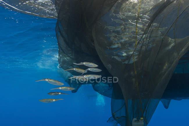 Gruppe von Tintenfische in-Formation in der Nähe von Fischernetz mit silbernen Fisch innerhalb Cenderawasih Bay, West-Papua, Indonesien — Stockfoto