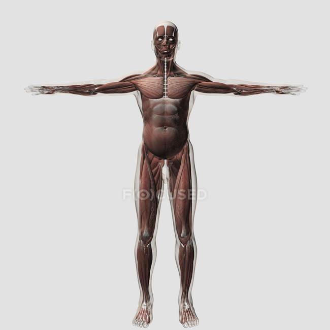 Анатомія чоловічого м'язову систему на білому тлі — стокове фото