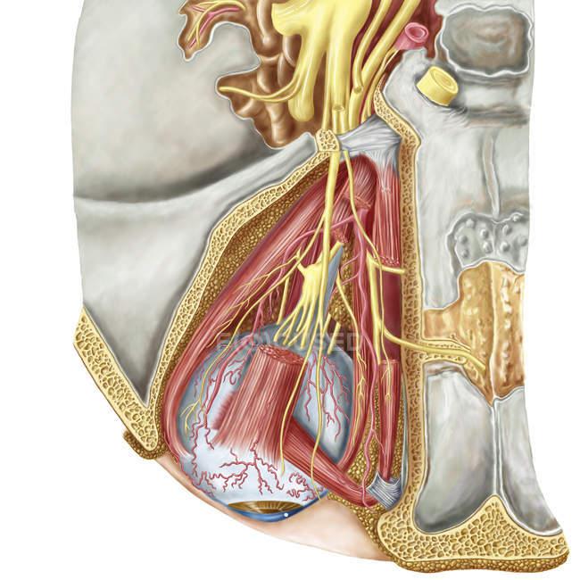 Орбитальный вырезать показаны объявления нерва ресничного ганглия и глазодвигательного нерва — стоковое фото