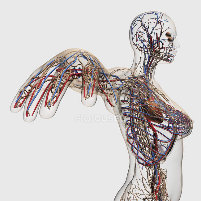 Illustrazione medica di arterie, vene e sistema linfatico con cuore — Foto stock