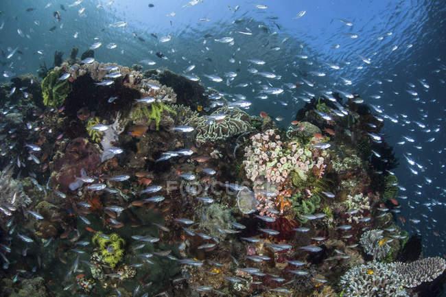 Colorido arrecife de coral cubierto por peces - foto de stock
